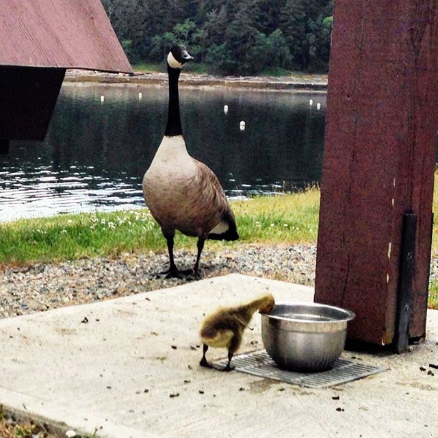 Time for a cool drink of water!#CanadaGoose #gosling