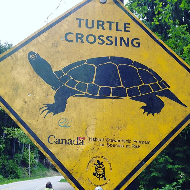 As an Albertan, I'm not sure what to say. #PNW #turtles