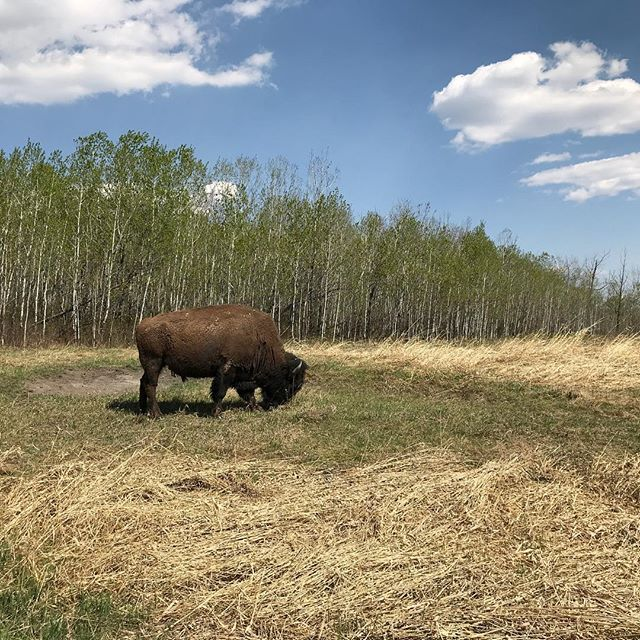 Elk Island for Mother's Day and the Buffalo are out in force!
