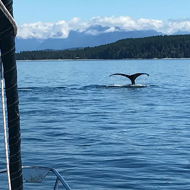 Humpback count is up to an even dozen. And that doesn't include Minkes, porpoises and dolphins. - - - - #humpbackwhale #pnw #sealife @nanaimoyachtcharters #cruising #sailing #boatcharters