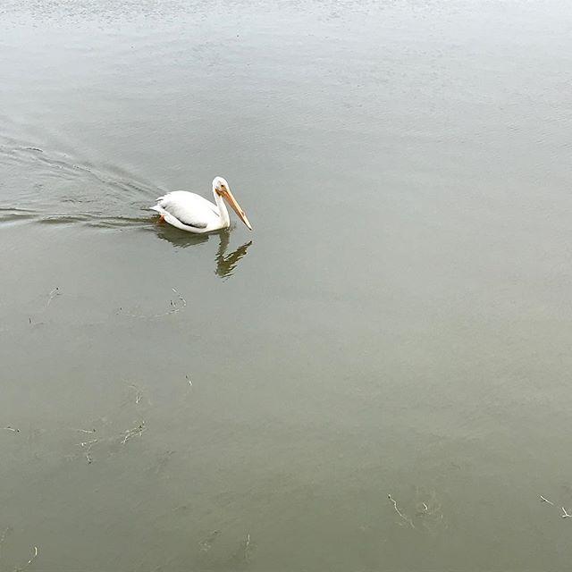 Visitors to Beaumaris Lake. Saw a half dozen of these fellows #pelicans #birds #urbanbirds
