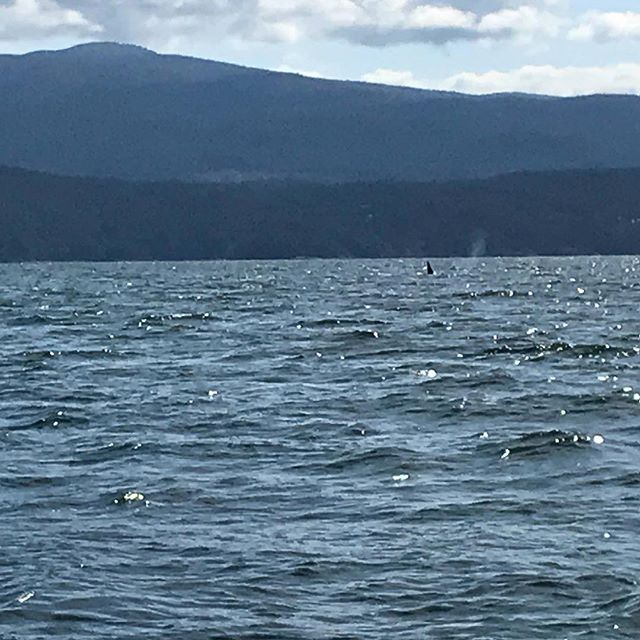 Orca! Welcome to Malaspina Strait... 7 or 8 orca greeted us off Pender Harbour. I'll never get tired of the sight.