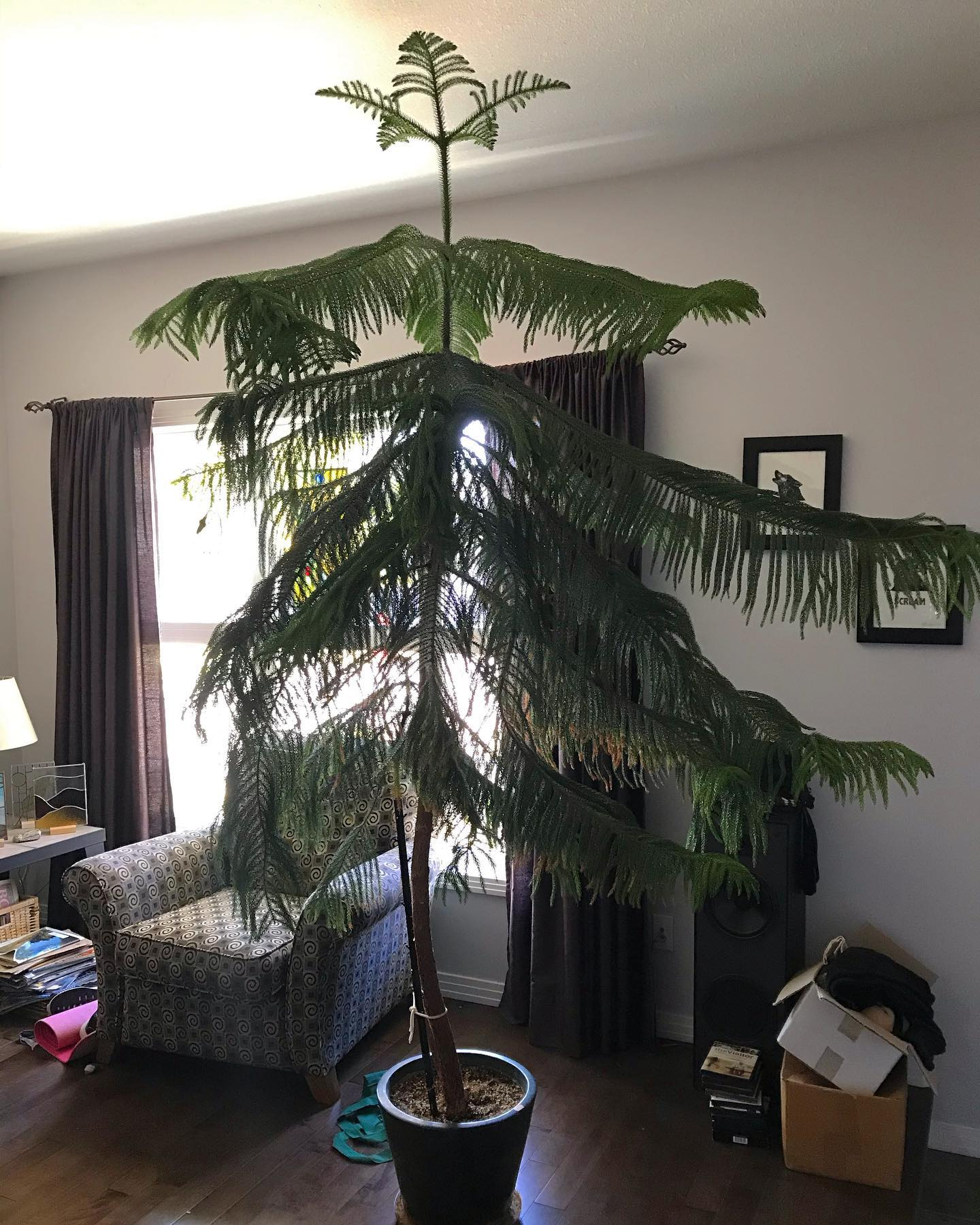"Believe it or not we bought this ~30 years ago and it was 8"" high. We moved it out of the bedroom this spring because it was rubbing the 8-ft ceiling. But there's no room on the 9-ft main floor. #decisiontime #middleofthesittingroom #norfolkpine"